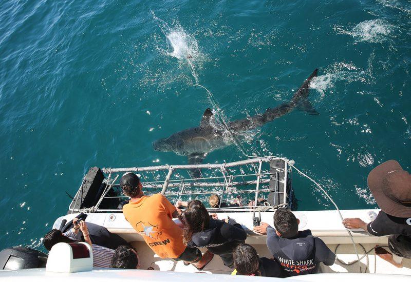 africa-shark-diving