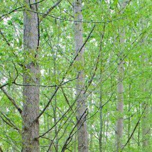 gree-trees-plantation.jpg